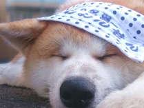 *秋田犬の温(はる)ちゃん。タオルをかぶってごくらくごくらく♪