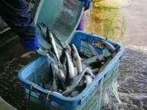 鮮度抜群の近海ものの魚の水揚げ
