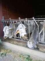 酪農の里 インド白牛 南房総市と鴨川市の境にあります。ソフトクリームあり♪