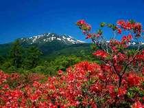 乗鞍を代表する植物【レンゲツツジ】は6月初旬に満開をむかえます。