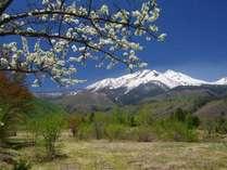 乗鞍岳と満開のすもも。すもものお花は5月中旬に満開をむかえます。