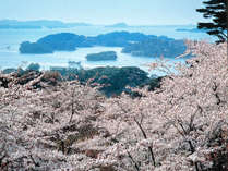 春の松島※当館から車で約10分 西行戻しの松公園からは桜とともに松島湾が望めます♪