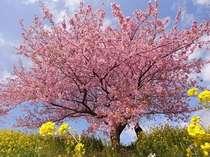 """""""河津桜祭り"""",""""みなみの桜祭""""2月10日よりスタート。"""