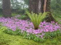 (春)春本番を告げるサクラソウの花は町花に制定されています5月中旬中庭にて