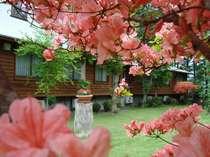 (春)色鮮やかに咲きほこる満開のツツジ(中庭にて 5月中旬頃から)