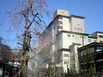 【春】春爛漫の枝垂桜。桜の開花は例年5月10日前後。その後ツツジも美しく咲き始めます。