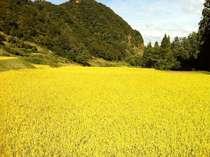 南魚沼の自然の中で作られた稲♪是非ご賞味下さい。