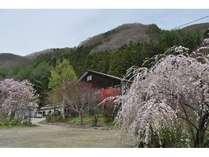 桜満開にかこまれた高野旅館です♪(去年のGWの風景)