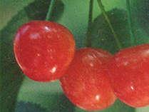 *つるっつるの真っ赤な実♪果物の名産地:甲州市で新鮮ジューシーな旬の味覚をどうぞ!
