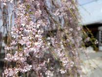 ◆慈雲寺のイトザクラは天然記念物指定。樹齢3百年超えの木から四方に垂れ下がる糸のような桜に圧巻!