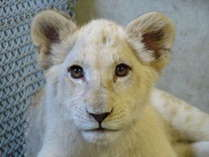 姫路セントラルパークのホワイトライオンは必見です!