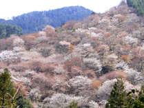 日本一の桜の名所として知られる吉野山☆世界遺産にも認定されています!