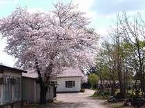 *桜の時期は、圧巻の風景が見られます!