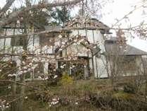 庭の富士桜が春の訪れを告げています