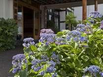 玄関入口 紫陽花