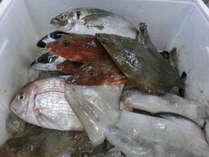伊東港の仲買人から競りで残った朝どれの魚を割安に買い付け