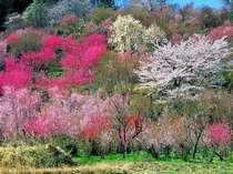 【和洋折衷膳・牛&牛コース】桜満開~桜吹雪の春温泉旅を楽しむならコレ!桜花と温泉をダブルで堪能