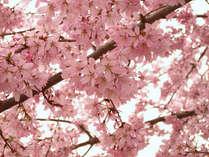 ≪春のお花見プラン≫西本願寺目の前★京都の桜を見に行こう♪