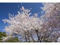 【春の花見BBQプラン】 春の味覚たっぷり桜の木の下でBBQプラン