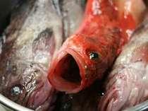 透明な目と反り返った様が証明する地もの天然魚