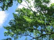 磐梯熱海の初夏の空です。青空を背景に緑がきらめいています。いつまで見ていてもあきない空です。