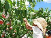 ~夏の会席~【桃狩り体験】フルーツ王国岡山の美味しい桃をお楽しみ