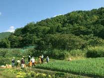 山形の郷土料理『いも煮』用の里芋収穫(自社農園)