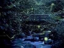*志賀高原石の湯地区では日本最高所のゲンジボタルを観察することが可能です。当館より車で約15分