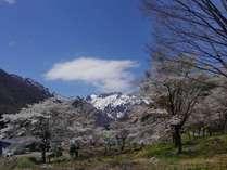 桜の谷川岳「マナイタグラ」散歩道より※徒歩3分