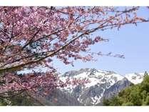 貸切露天脇の山桜と谷川岳 敷地内には数種類の桜を植えております。