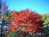 紅葉シーズンは庭の楓がきれい