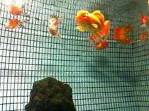 ~金魚湯の水槽~数種の金魚たちが暮らしています。