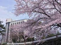 ホテル敷地内では桜をご鑑賞頂けます(例年4月中旬満開です)
