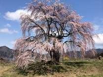 和みの桜 心も和みますね・・・