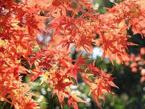 *紅葉で鮮やかな彩りを魅せる秋をお楽しみ下さい♪