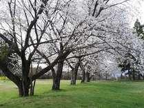 敷地内の桜満開の頃。例年3月下旬~4月上旬が見頃です。(2016年4月撮影、ソメイヨシノ桜)