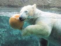 間近で見る白クマの水中ダイブはとっても豪快!!