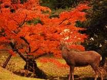 紅葉を望む鹿(イメージ)