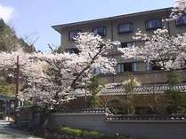 当館玄関横の桜