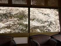 ロビーから窓越し満開の桜