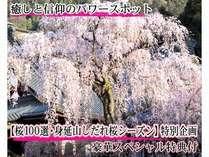 じゃらんNET限定【この時期恒例】【桜100選】身延山しだれ桜 大法師公園-桜祭り  特別企画プラン