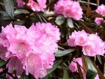 *春には美しいシャクナゲが咲き誇ります
