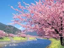 河津桜祭:当館より車8分