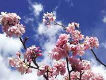 2月10日から3月10日は河津桜まつりです。桜祭会場まで車で8分。誰よりも早く春を感じましょう