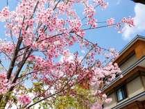【春の嵐山】桜が咲いて美しい春の嵐山をお愉しみください!≪今年の開花は3/20≫