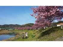 2月中旬から一か月間開催される「みなみの桜と菜の花まつり」絶景です!