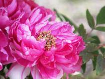 春と晩秋~冬にかけて、二季咲きする寒牡丹。
