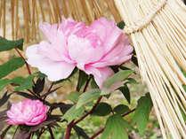 雪や霜を避けるコモをかぶり、鮮やかな色の牡丹が庭園を彩ります。