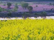 鮮やかなレモンイエロー1色の菜の花。野沢温泉周辺に広がる菜の花畑は実はみな野沢菜です。