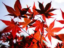 真っ赤に染まったモミジ。秋本番